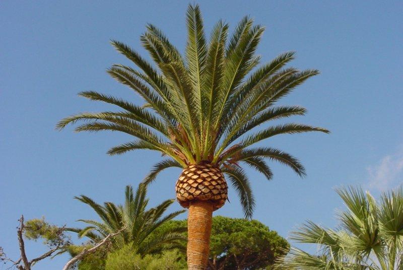 Photos de palmiers - Racine d un palmier ...